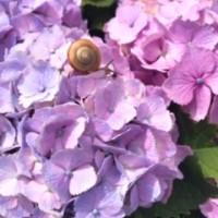 浜田紫陽花
